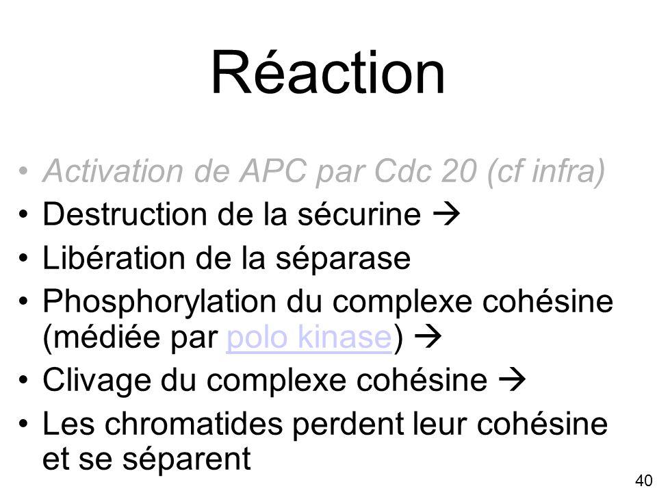 40 Réaction Activation de APC par Cdc 20 (cf infra) Destruction de la sécurine Libération de la séparase Phosphorylation du complexe cohésine (médiée