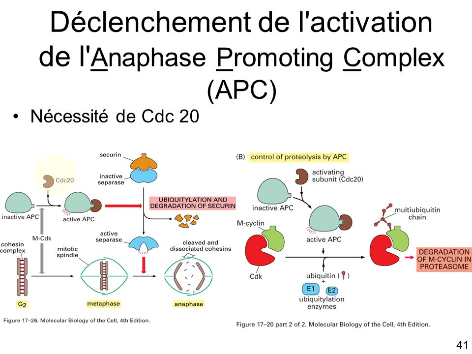 41 Déclenchement de l activation de l Anaphase Promoting Complex (APC) Nécessité de Cdc 20