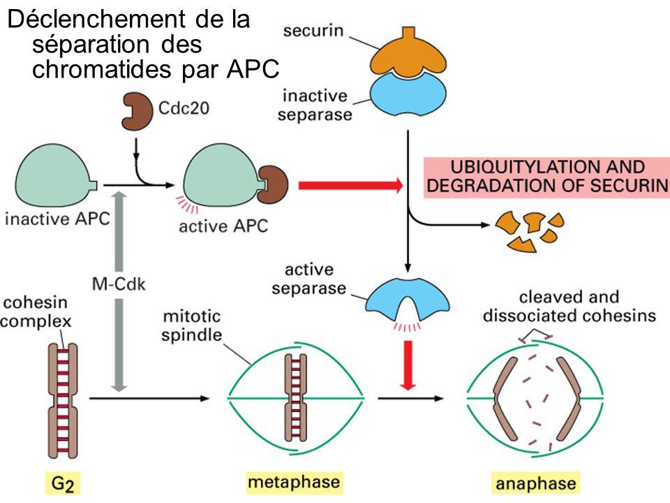 42 Fig 17-26 Déclenchement de la séparation des chromatides par APC