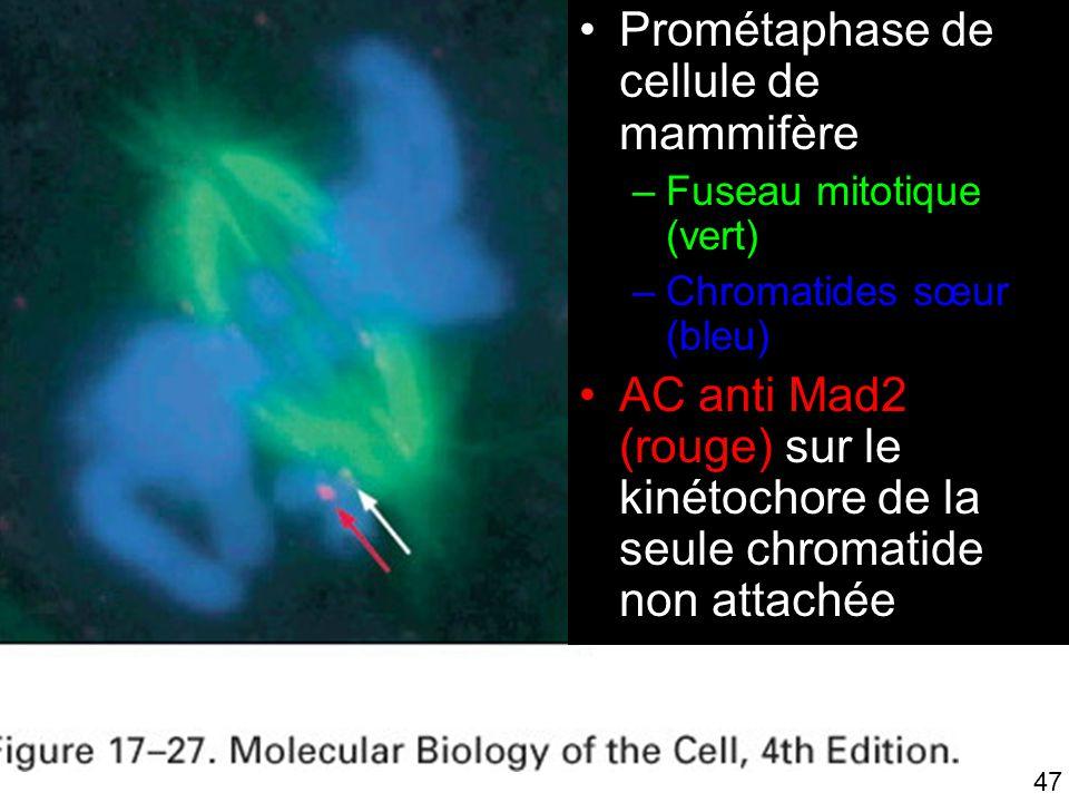 47 Fig 17-27 Prométaphase de cellule de mammifère –Fuseau mitotique (vert) –Chromatides sœur (bleu) AC anti Mad2 (rouge) sur le kinétochore de la seul