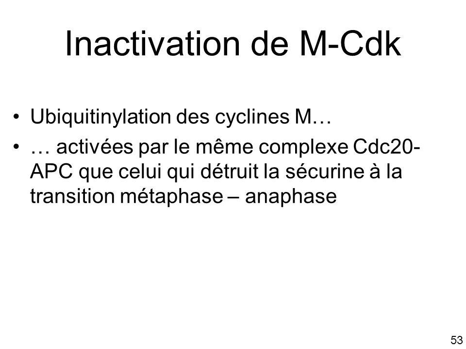 53 Inactivation de M-Cdk Ubiquitinylation des cyclines M… … activées par le même complexe Cdc20- APC que celui qui détruit la sécurine à la transition