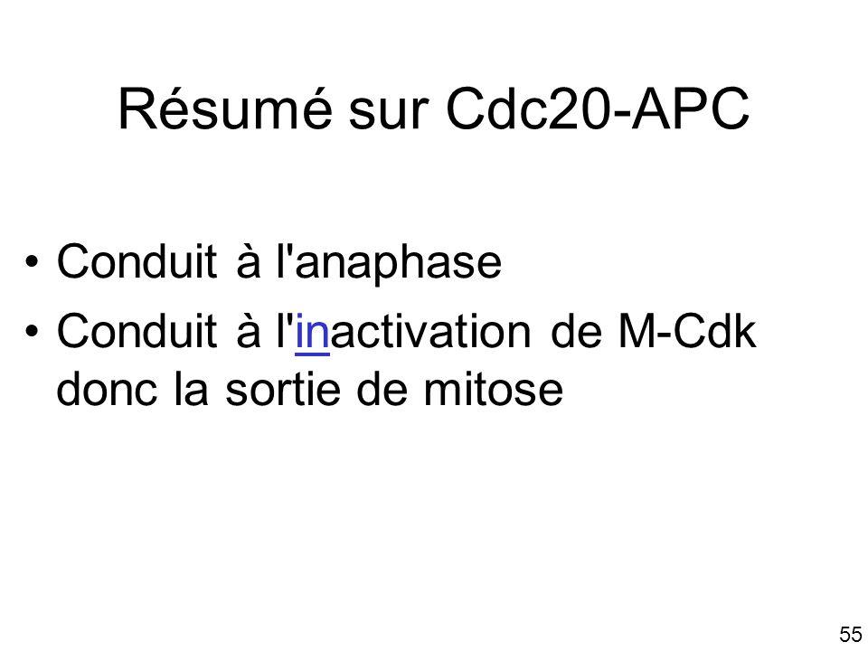 55 Résumé sur Cdc20-APC Conduit à l'anaphase Conduit à l'inactivation de M-Cdk donc la sortie de mitose