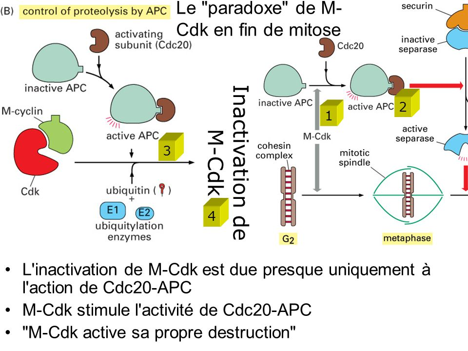 56 L inactivation de M-Cdk est due presque uniquement à l action de Cdc20-APC M-Cdk stimule l activité de Cdc20-APC M-Cdk active sa propre destruction Le paradoxe de M- Cdk en fin de mitose Inactivation de M-Cdk 1 2 3 4