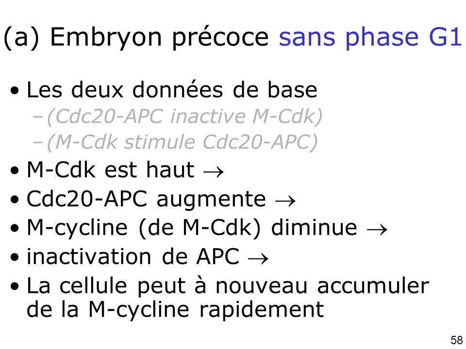 58 (a) Embryon précoce sans phase G1 Les deux données de base –(Cdc20-APC inactive M-Cdk) –(M-Cdk stimule Cdc20-APC) M-Cdk est haut Cdc20-APC augmente