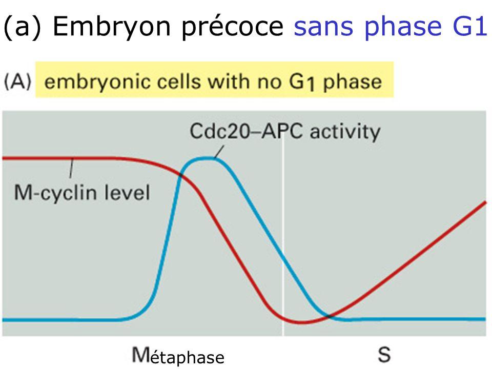 59 Fig 17-28A Création dune phase G1 stable : cellules dembryon précoces sans phase G1 étaphase (a) Embryon précoce sans phase G1