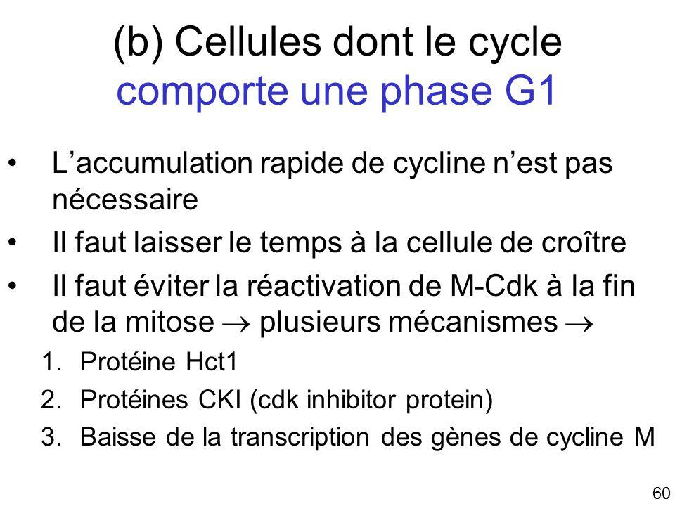 60 (b) Cellules dont le cycle comporte une phase G1 Laccumulation rapide de cycline nest pas nécessaire Il faut laisser le temps à la cellule de croît