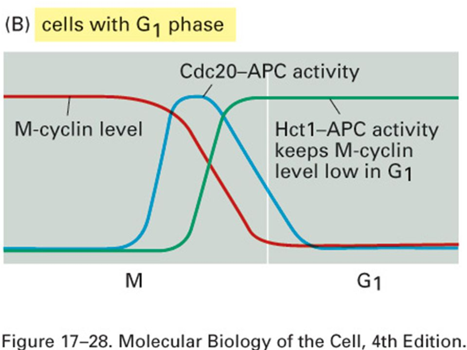 63 Création dune phase G1 stable dans des cellules avec phase G1 Fig 17-28B