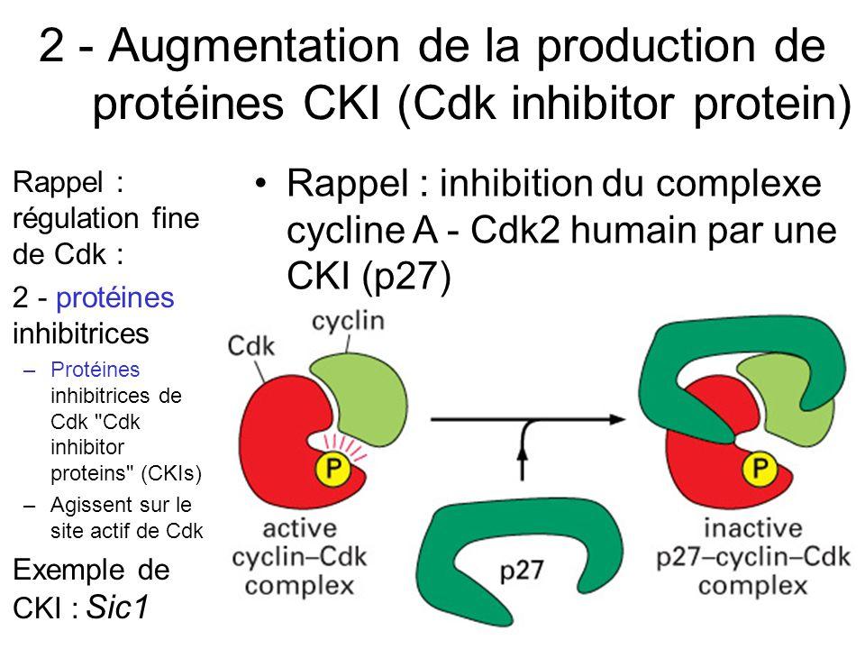 65 2 - Augmentation de la production de protéines CKI (Cdk inhibitor protein) Rappel : régulation fine de Cdk : 2 - protéines inhibitrices –Protéines