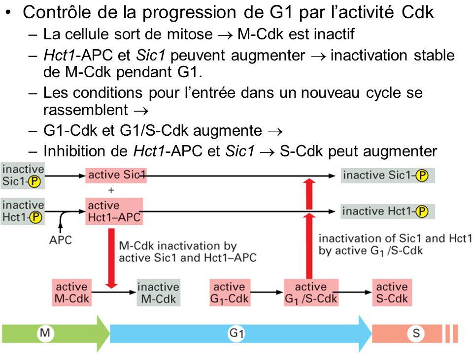 70 Fig 17-29 Contrôle de la progression de G1 par lactivité Cdk –La cellule sort de mitose M-Cdk est inactif –Hct1-APC et Sic1 peuvent augmenter inact