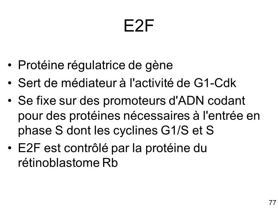 77 E2F Protéine régulatrice de gène Sert de médiateur à l'activité de G1-Cdk Se fixe sur des promoteurs d'ADN codant pour des protéines nécessaires à