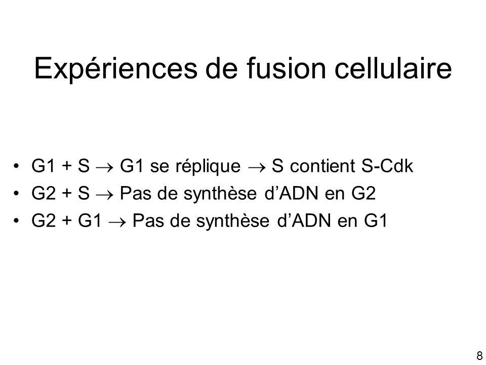 8 Expériences de fusion cellulaire G1 + S G1 se réplique S contient S-Cdk G2 + S Pas de synthèse dADN en G2 G2 + G1 Pas de synthèse dADN en G1