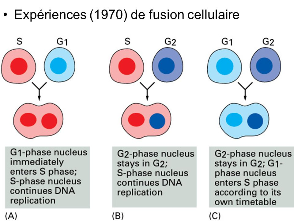 60 (b) Cellules dont le cycle comporte une phase G1 Laccumulation rapide de cycline nest pas nécessaire Il faut laisser le temps à la cellule de croître Il faut éviter la réactivation de M-Cdk à la fin de la mitose plusieurs mécanismes 1.Protéine Hct1 2.Protéines CKI (cdk inhibitor protein) 3.Baisse de la transcription des gènes de cycline M