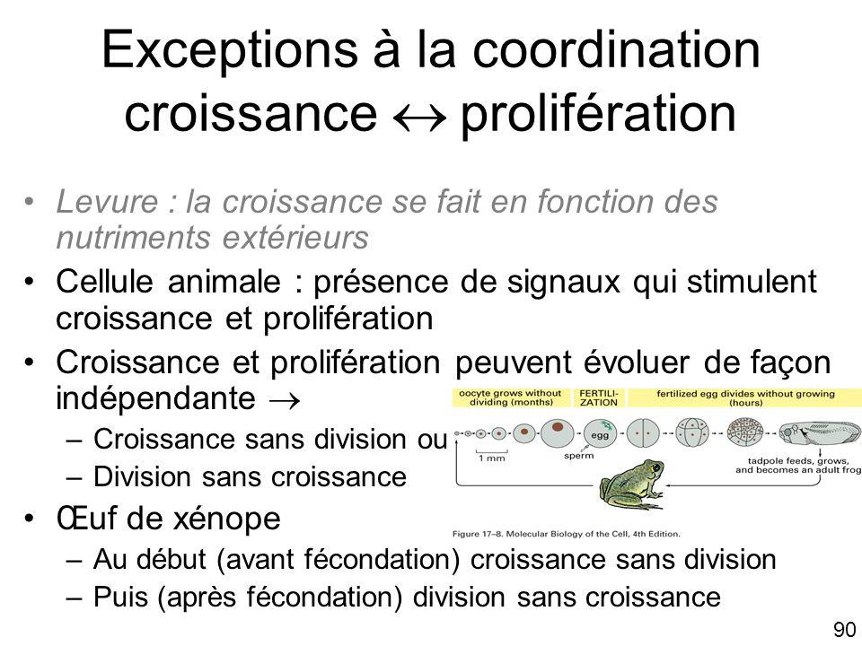 90 Exceptions à la coordination croissance prolifération Levure : la croissance se fait en fonction des nutriments extérieurs Cellule animale : présen