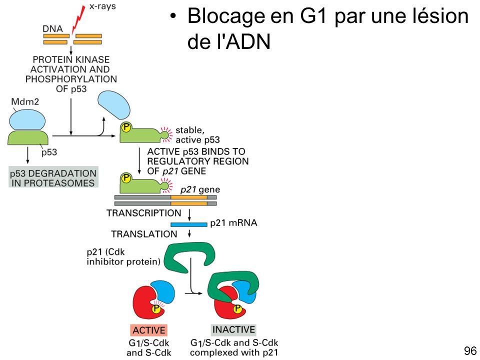 96 Fig 17-33 Blocage en G1 par une lésion de l'ADN