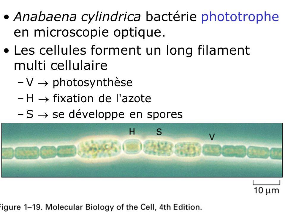 22 Fig 1-19 Anabaena cylindrica bactérie phototrophe en microscopie optique.
