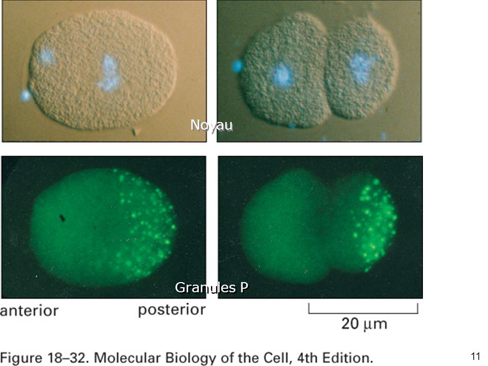 11 Fig 18-32 Granules P Noyau