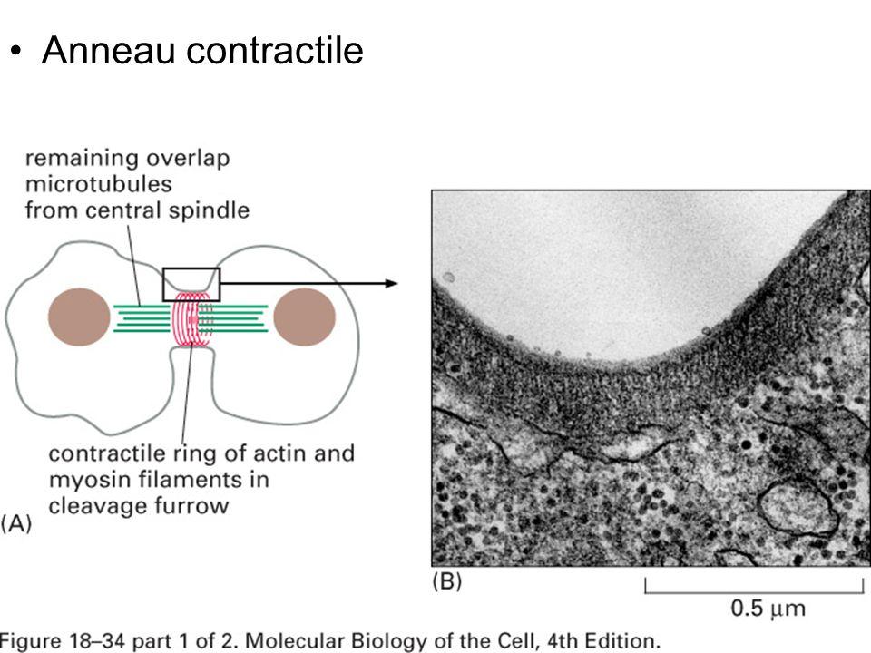 14 Fig 18-34(AB) Anneau contractile
