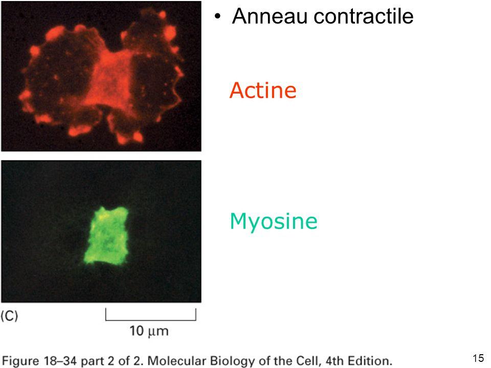 15 Fig 18-34(C) Anneau contractile Actine Myosine