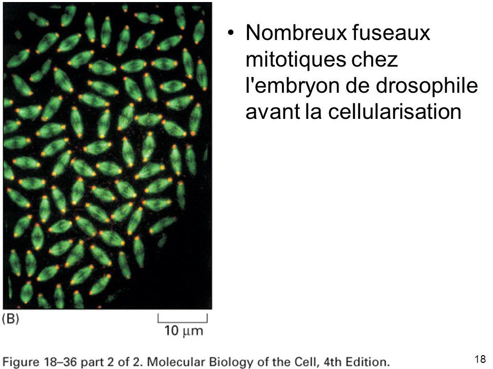 18 Fig 18-36(B) Nombreux fuseaux mitotiques chez l'embryon de drosophile avant la cellularisation