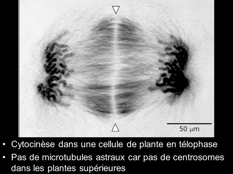 19 Fig 18-37 Cytocinèse dans une cellule de plante en télophase Pas de microtubules astraux car pas de centrosomes dans les plantes supérieures 50 m