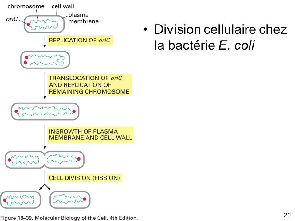 22 Fig 18-39 Division cellulaire chez la bactérie E. coli
