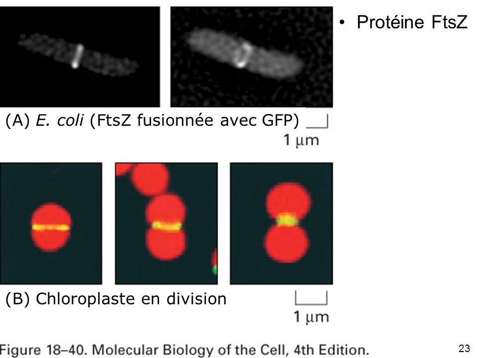 23 Fig 18-40 (A) E. coli (FtsZ fusionnée avec GFP) Protéine FtsZ (B) Chloroplaste en division