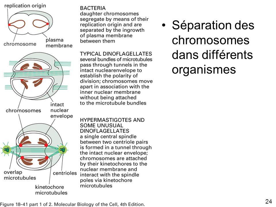 24 Fig 18-41 Séparation des chromosomes dans différents organismes