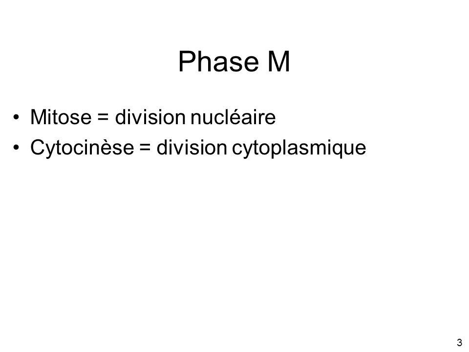 3 Mitose = division nucléaire Cytocinèse = division cytoplasmique