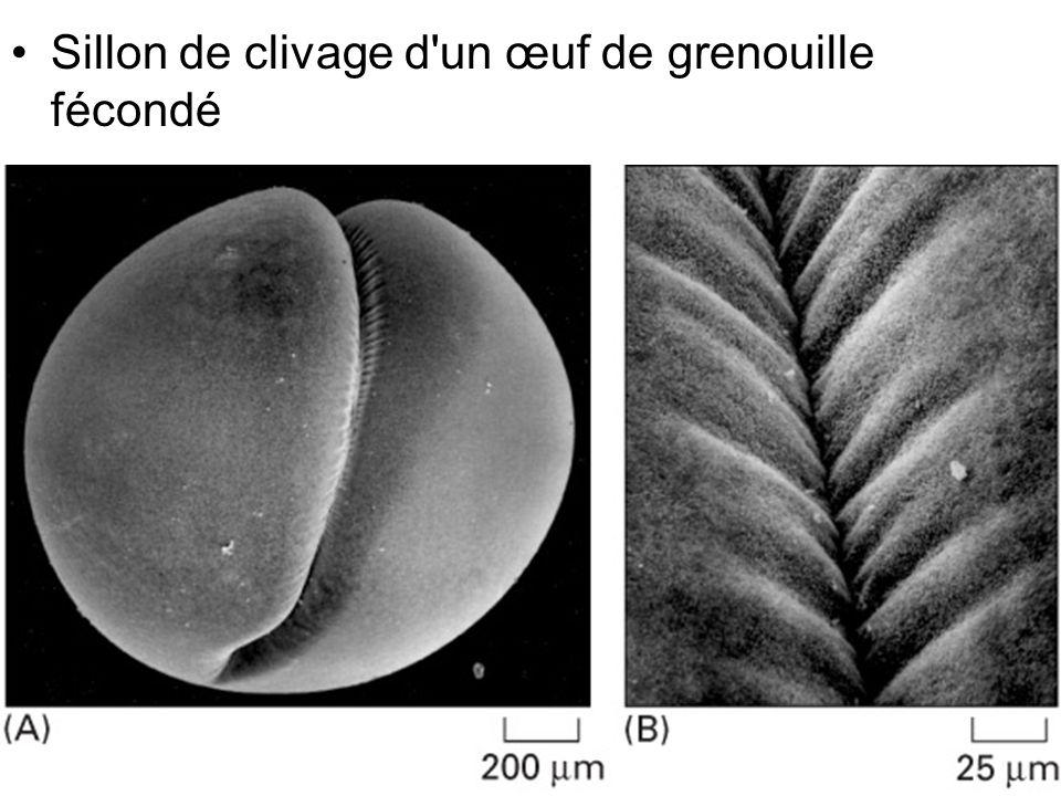 9 Fig 18-30 Sillon de clivage d'un œuf de grenouille fécondé