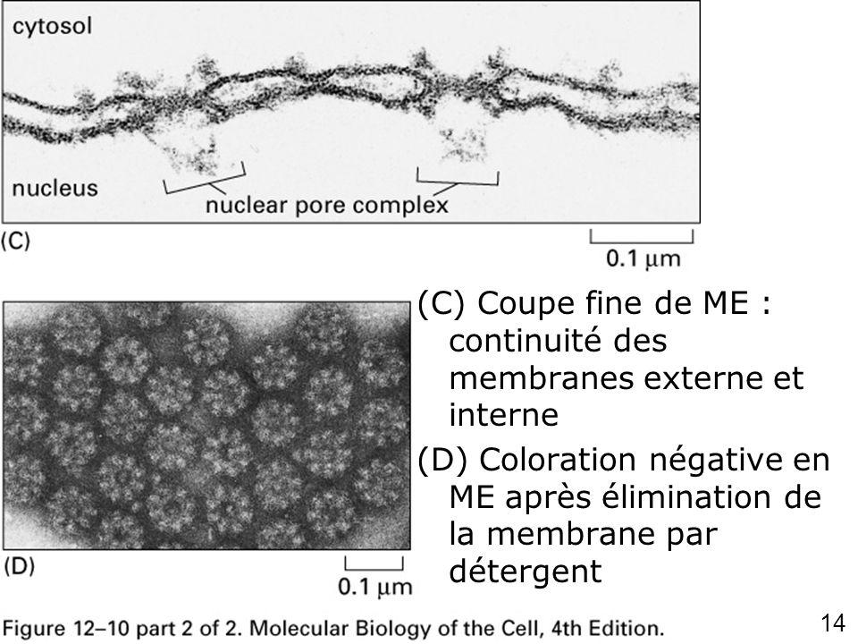 14 Fig 12-10CD (C) Coupe fine de ME : continuité des membranes externe et interne (D) Coloration négative en ME après élimination de la membrane par d