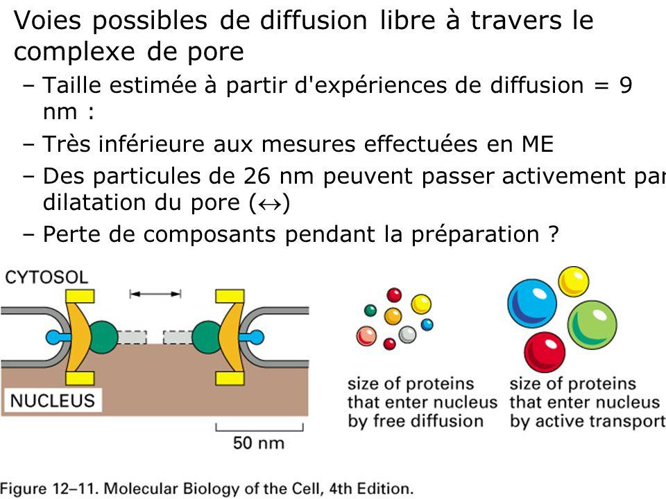 20 Fig 12-11 Voies possibles de diffusion libre à travers le complexe de pore –Taille estimée à partir d'expériences de diffusion = 9 nm : –Très infér