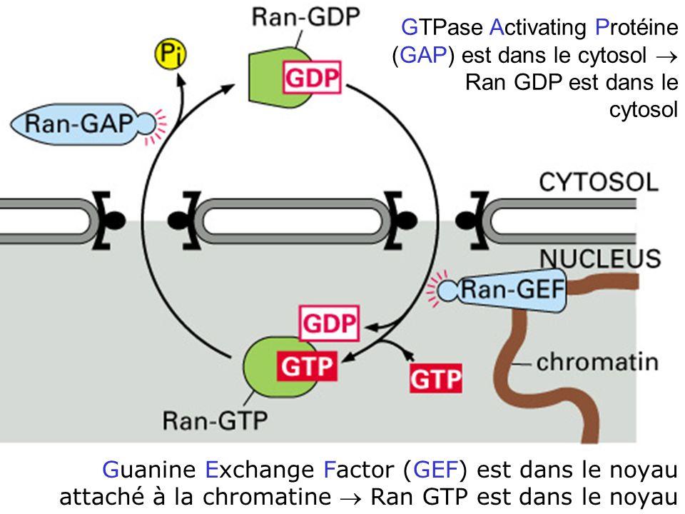 39 Fig 12-15 Guanine Exchange Factor (GEF) est dans le noyau attaché à la chromatine Ran GTP est dans le noyau GTPase Activating Protéine (GAP) est da