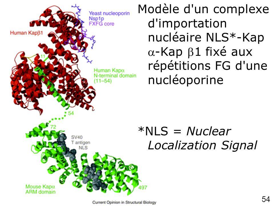 54 Chook,YM2001p 703 (fig4) Modèle d'un complexe d'importation nucléaire NLS*-Kap-Kap 1 fixé aux répétitions FG d'une nucléoporine *NLS = Nuclear Loca