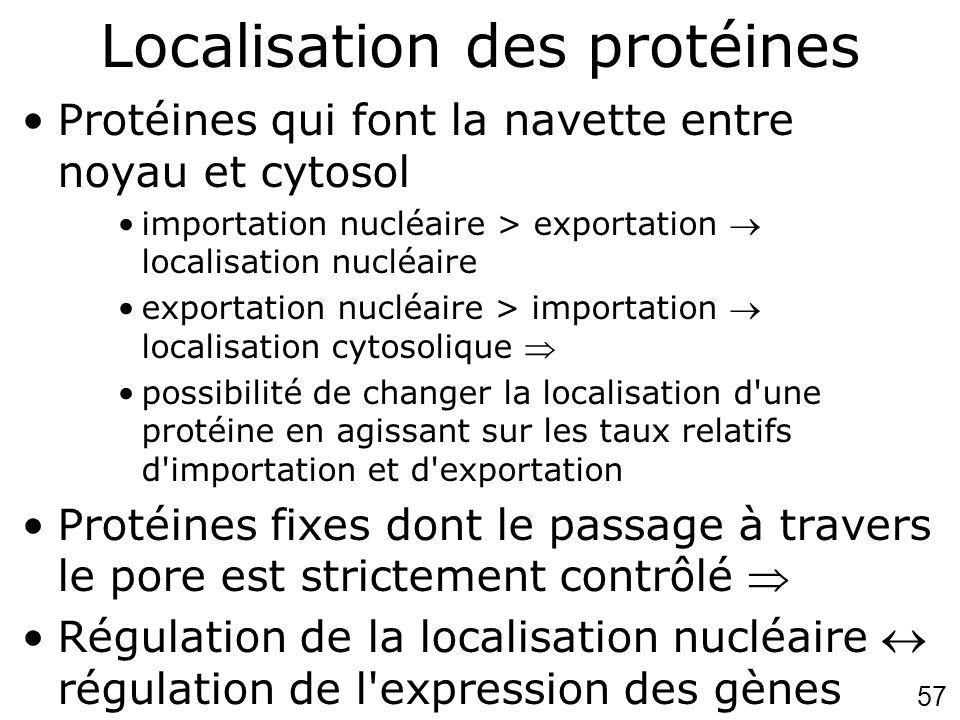 57 Localisation des protéines Protéines qui font la navette entre noyau et cytosol importation nucléaire > exportation localisation nucléaire exportat