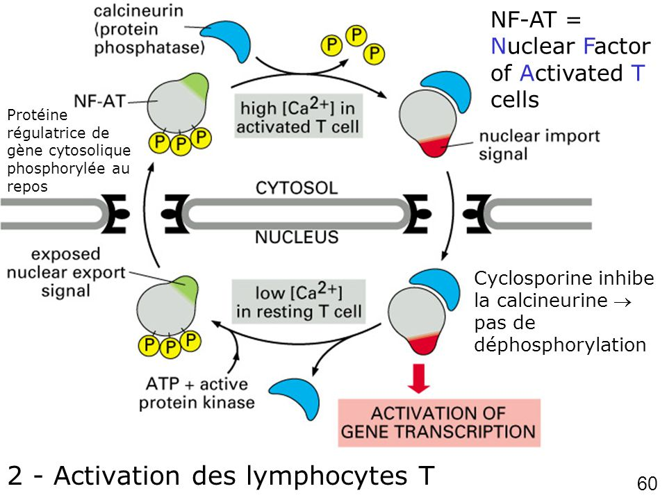 60 Fig 12-19 2 - Activation des lymphocytes T NF-AT = Nuclear Factor of Activated T cells Protéine régulatrice de gène cytosolique phosphorylée au repos Cyclosporine inhibe la calcineurine pas de déphosphorylation