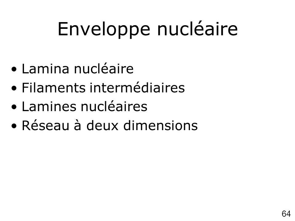 64 Enveloppe nucléaire Lamina nucléaire Filaments intermédiaires Lamines nucléaires Réseau à deux dimensions