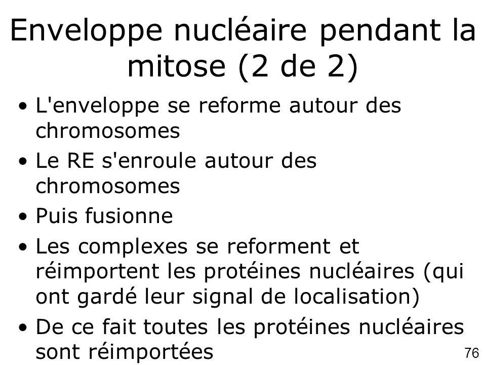 76 Enveloppe nucléaire pendant la mitose (2 de 2) L'enveloppe se reforme autour des chromosomes Le RE s'enroule autour des chromosomes Puis fusionne L