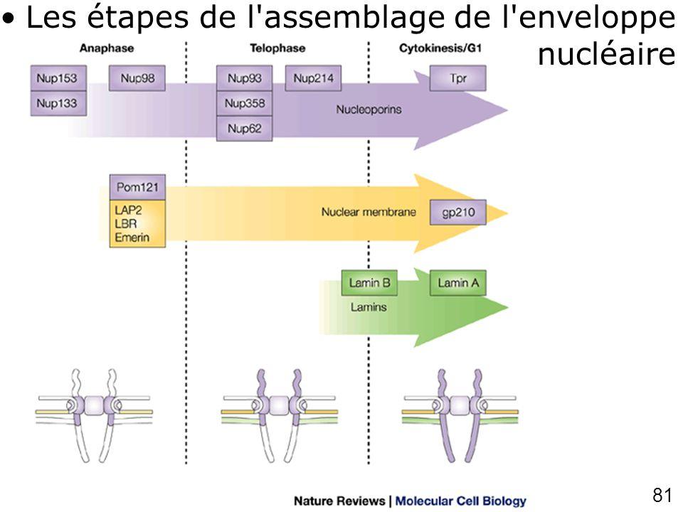 81 Burke,B2002p48 7(fig5) Les étapes de l'assemblage de l'enveloppe nucléaire