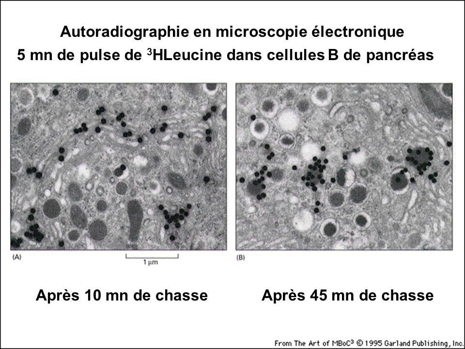 40 Fig 9-47 Autoradiographie en microscopie électronique 5 mn de pulse de 3 HLeucine dans cellules B de pancréas Après 10 mn de chasseAprès 45 mn de chasse