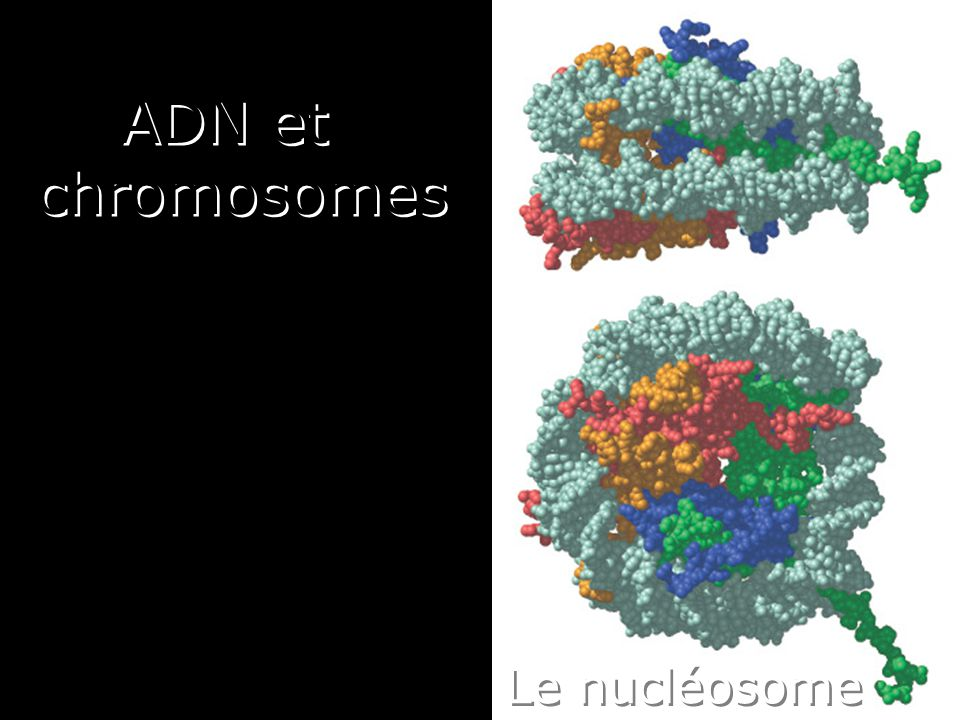 12 Les chromosomes eucaryotes Chaque cellule a deux copies de chaque chromosome –une héritée du père et –une héritée de la mère Chromosomes homologues Exception : chromosomes sexuels chez le mâle –Y hérité du père –X hérité de la mère
