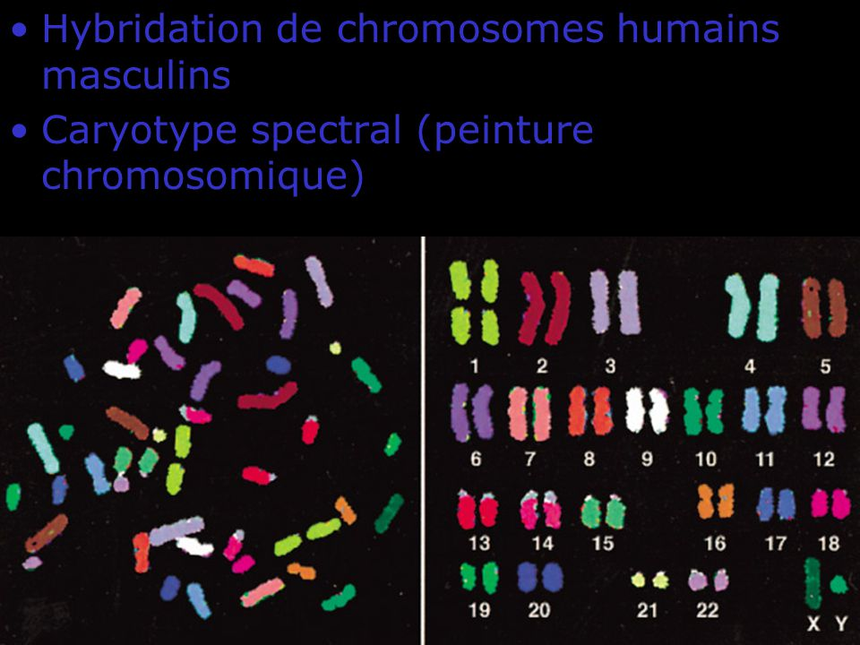 15 Fig 4-10 Hybridation de chromosomes humains masculins Caryotype spectral (peinture chromosomique)