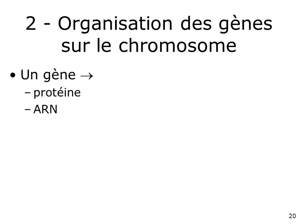 20 2 - Organisation des gènes sur le chromosome Un gène –protéine –ARN