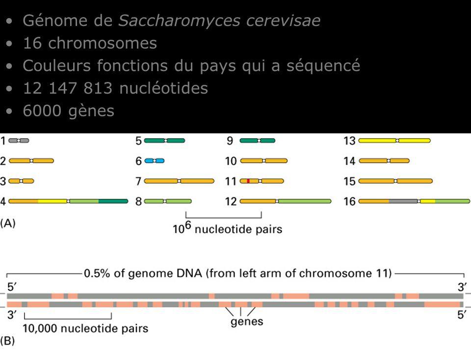 25 Fig 4-13 Génome de Saccharomyces cerevisae 16 chromosomes Couleurs fonctions du pays qui a séquencé 12 147 813 nucléotides 6000 gènes