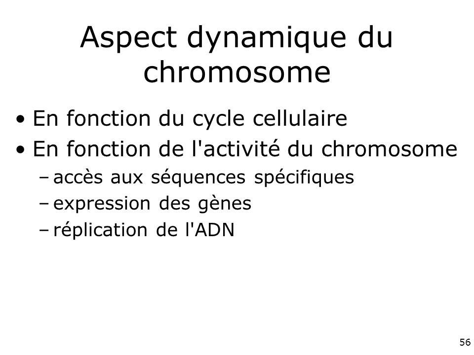 56 Aspect dynamique du chromosome En fonction du cycle cellulaire En fonction de l activité du chromosome –accès aux séquences spécifiques –expression des gènes –réplication de l ADN