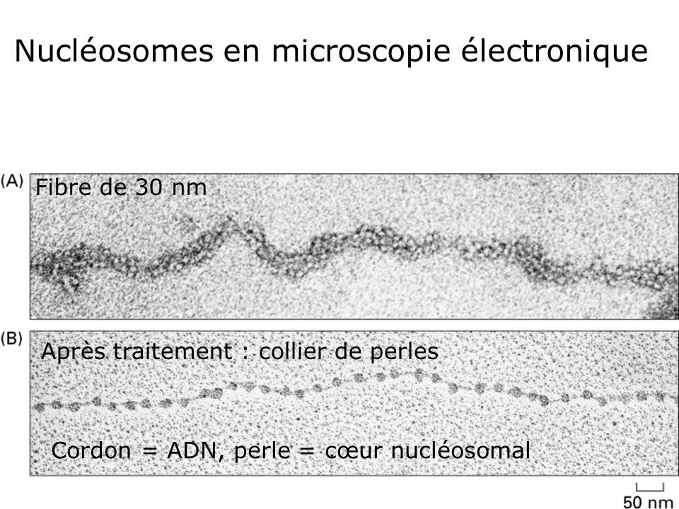 58 Fig 4-23 Fibre de 30 nm Après traitement : collier de perles Nucléosomes en microscopie électronique Cordon = ADN, perle = cœur nucléosomal