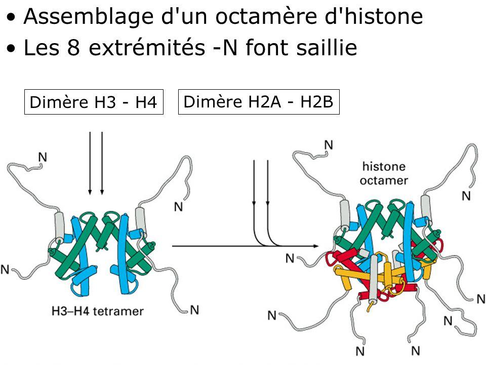 75 Fig 4-27bas Assemblage d un octamère d histone Les 8 extrémités -N font saillie Dimère H3 - H4Dimère H2A - H2B