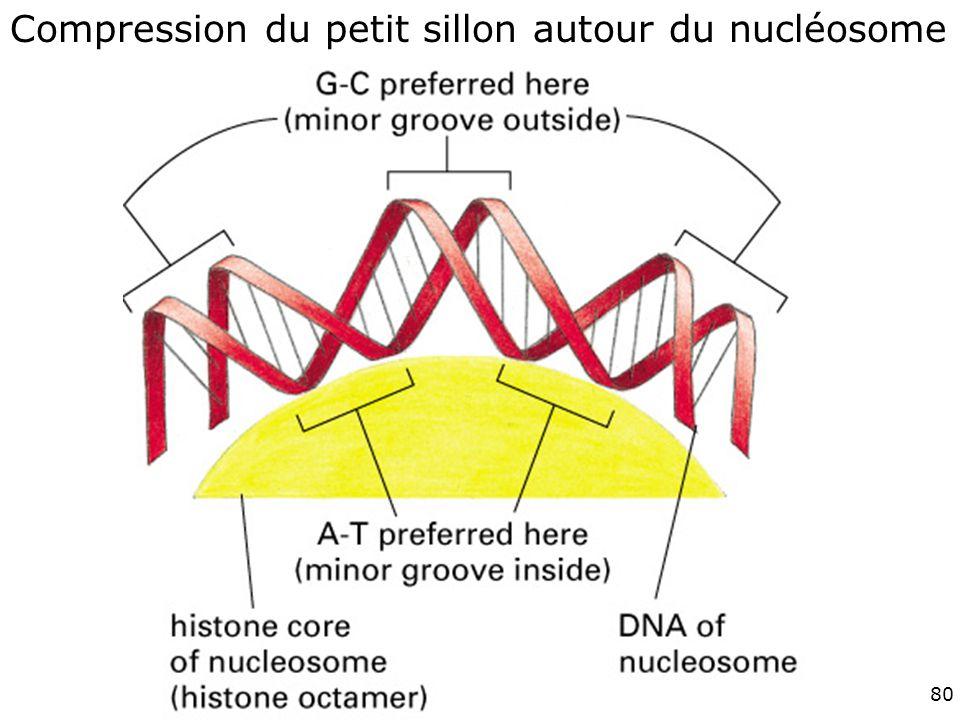 80 Fig 4-28 Compression du petit sillon autour du nucléosome
