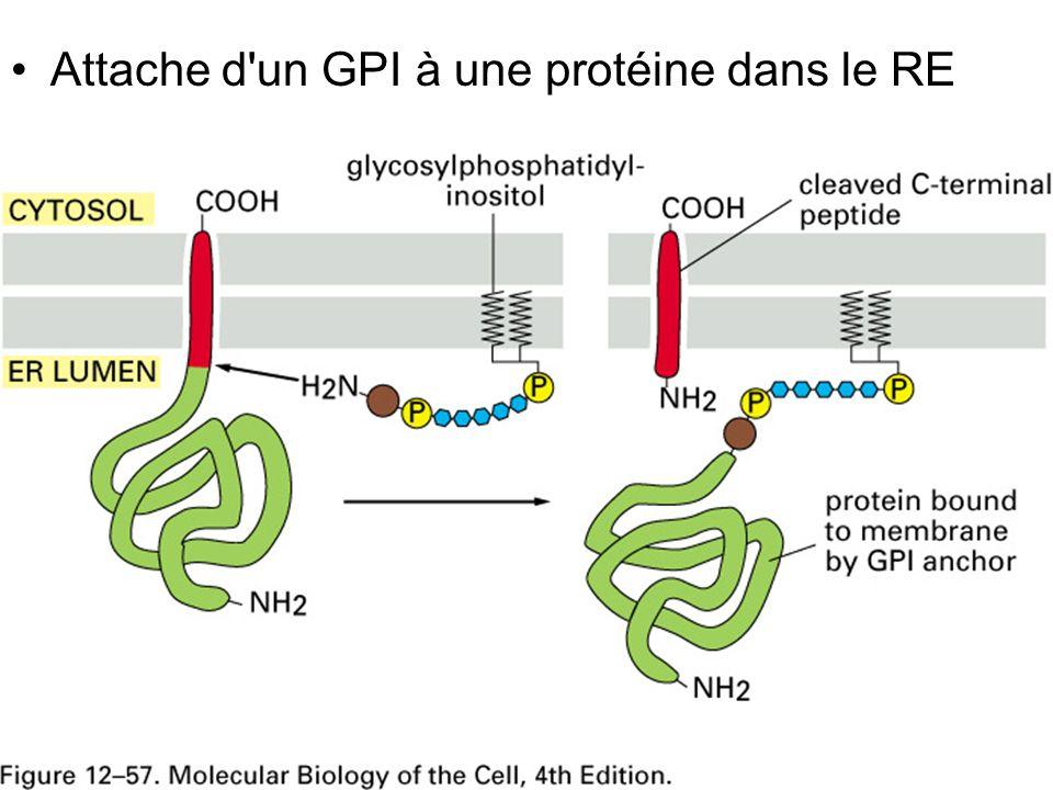 Fig 12-57 Attache d un GPI à une protéine dans le RE
