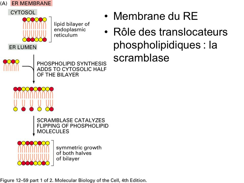 Fig 12-59(A) Membrane du RE Rôle des translocateurs phospholipidiques : la scramblase
