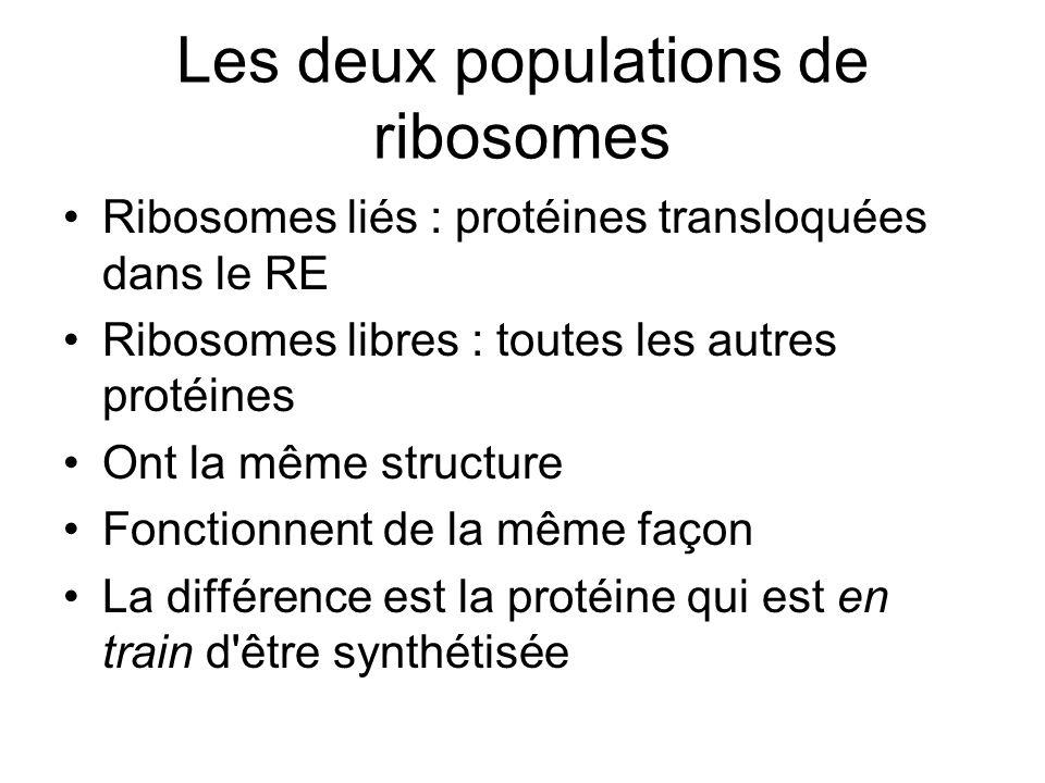 Les deux populations de ribosomes Ribosomes liés : protéines transloquées dans le RE Ribosomes libres : toutes les autres protéines Ont la même structure Fonctionnent de la même façon La différence est la protéine qui est en train d être synthétisée
